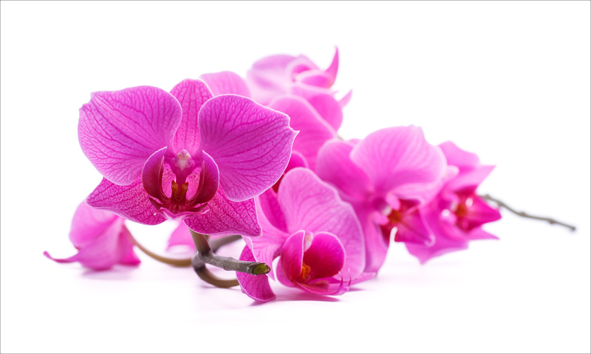 Close-up of a pink orchid on a white background