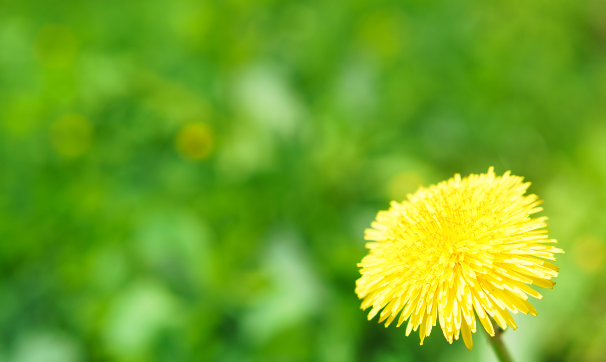 Close-up of a dandelion on a green background