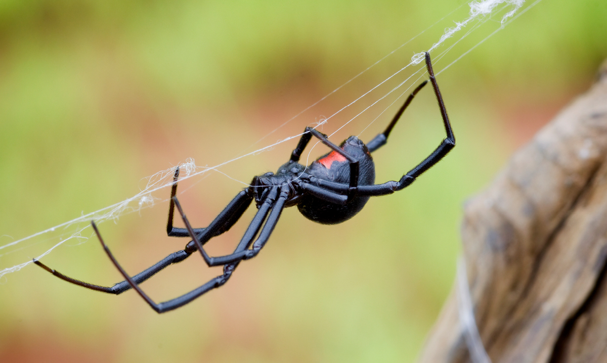 Black widow spider hanging in its web