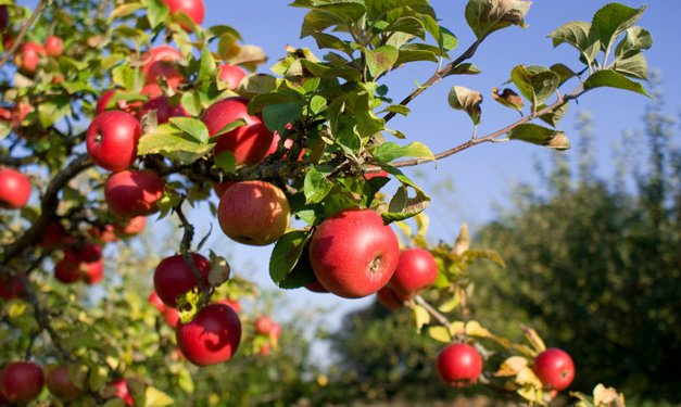 Red apples hanging from an apple tree in an orchard
