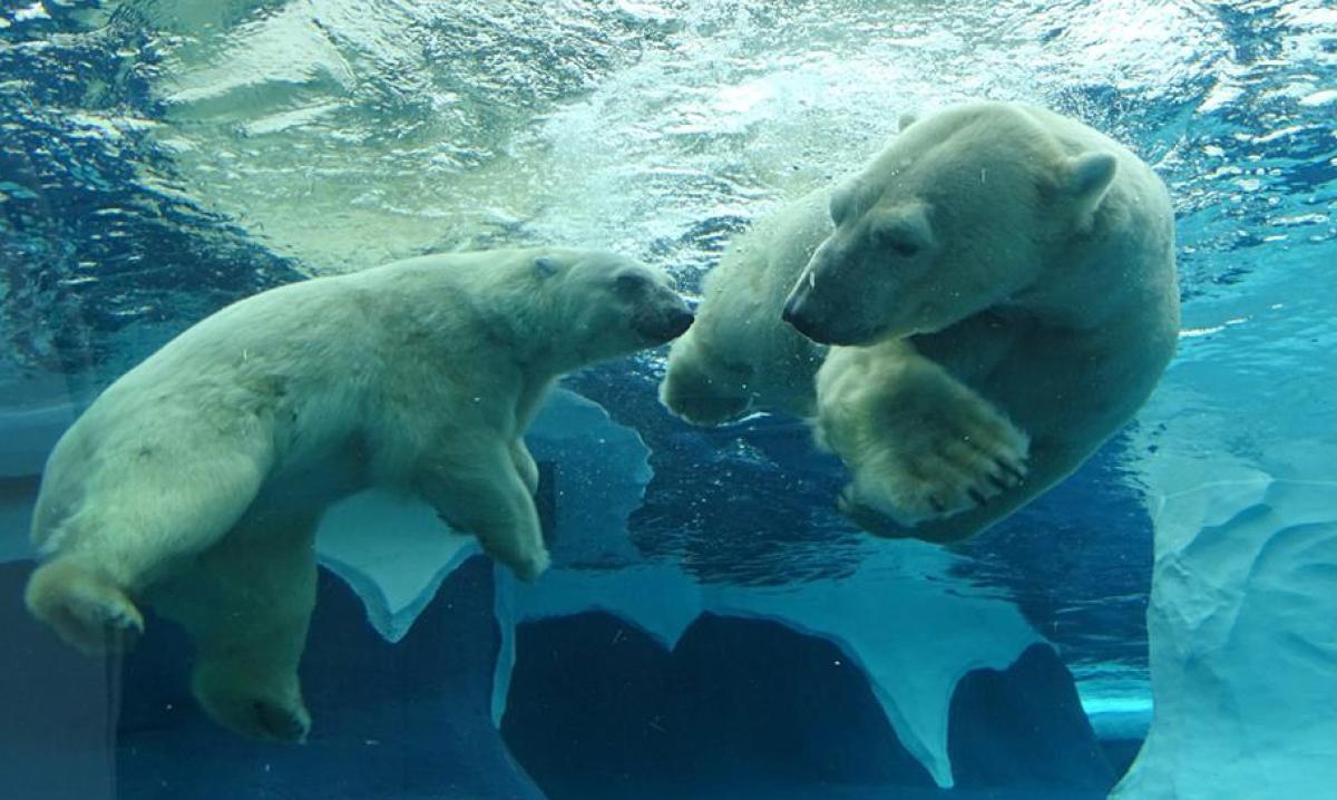 Two polar bears swimming underwater