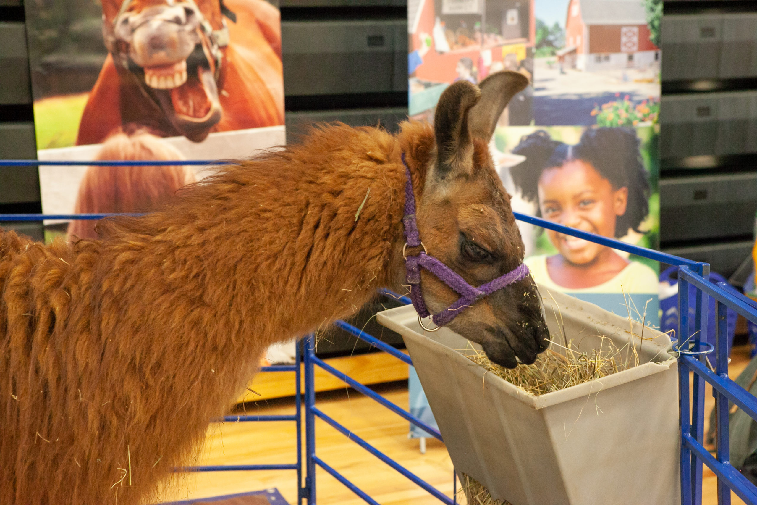 Llama eating hay at Camp Expo with images in background