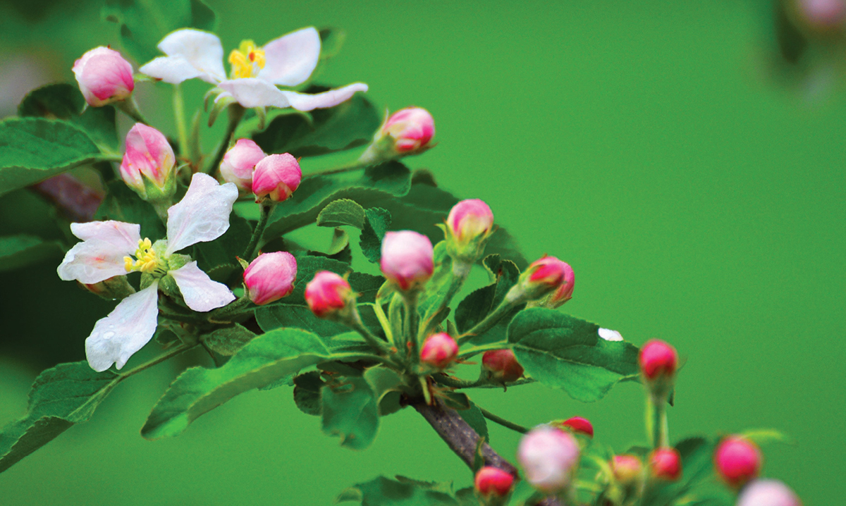 cherry blossoms on a green background
