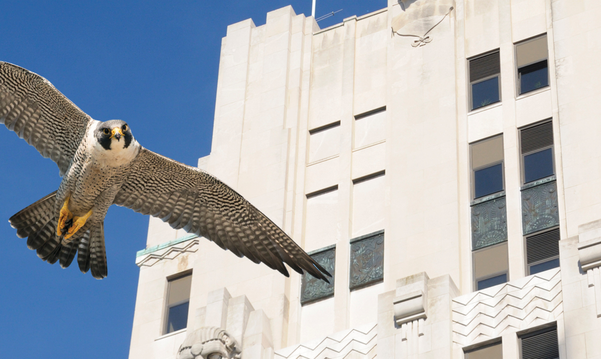 peregrine-falcons-nesting-in-mount-clemens