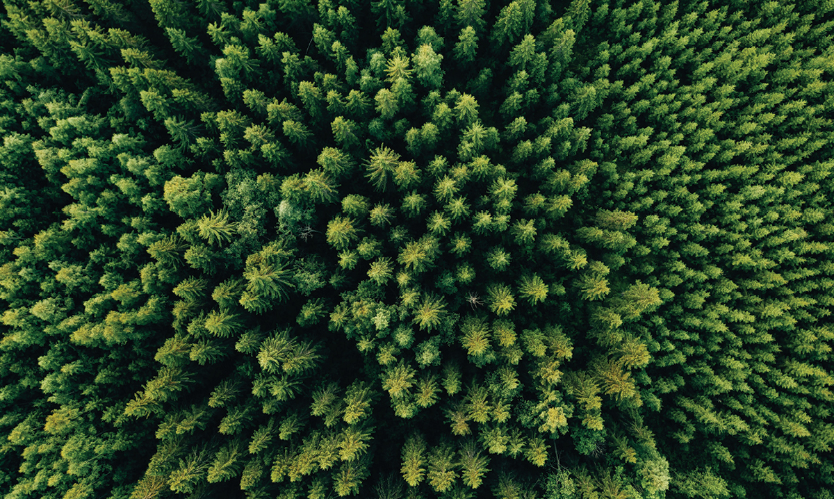 Aerial view of pine treetops