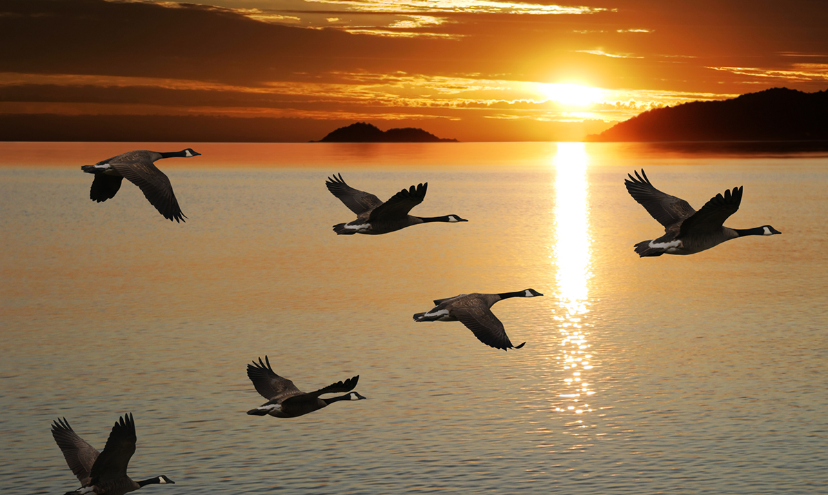 Geese flying in front of a sunset