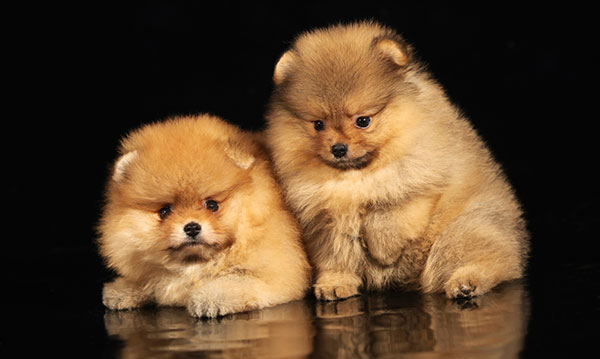Two tan dogs on a black background