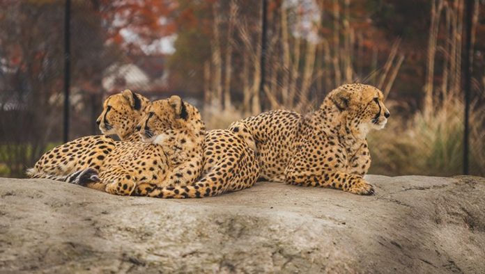Three Cheetahs at the Toledo Zoo
