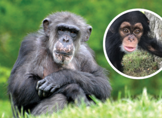 Image of the Detroit Zoo Chimpanzee and the baby she adopted