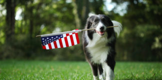 Dog running in a backyard holding an American flag in its mouth