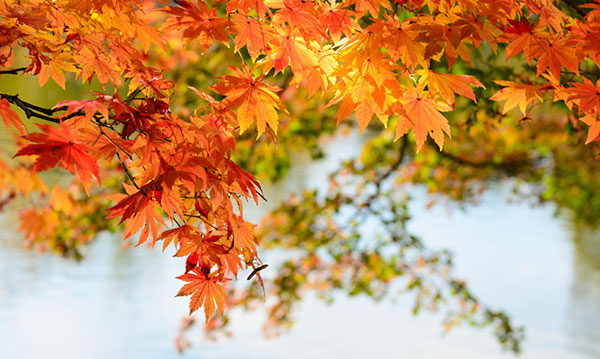 Leaves on a tree turning orange on a blue background