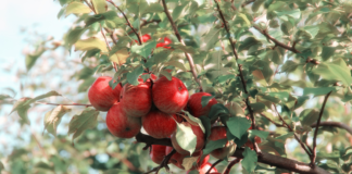 Close-up of apples in a tree