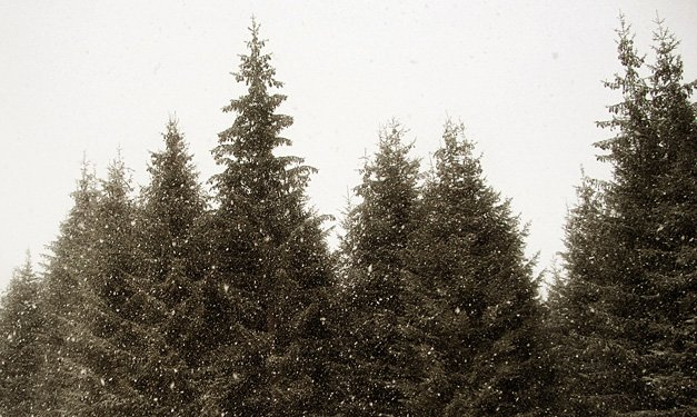 Pine trees on a white background
