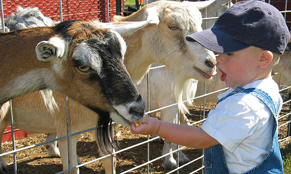 Little boy feeding goats