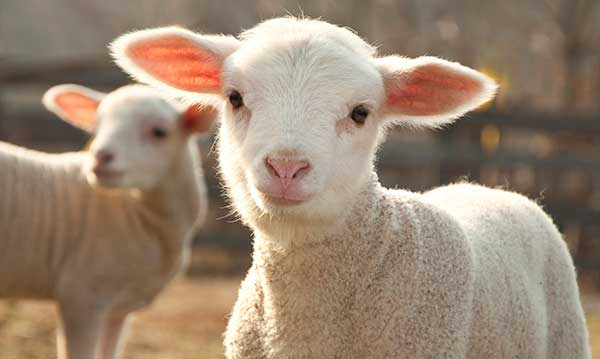 Two baby sheep on a farm