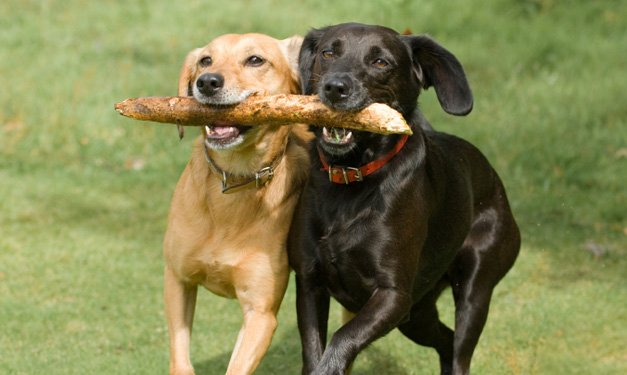 Two dogs running through a park with a stick