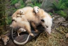 mom-possums