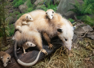 mom-possums