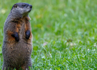 ways-to-celebrate-groundhog-day-at-home